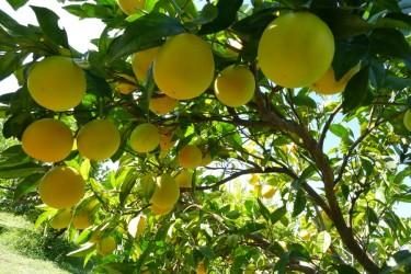 Agriturismo in Calabria_Santacinnara_limoni biologici